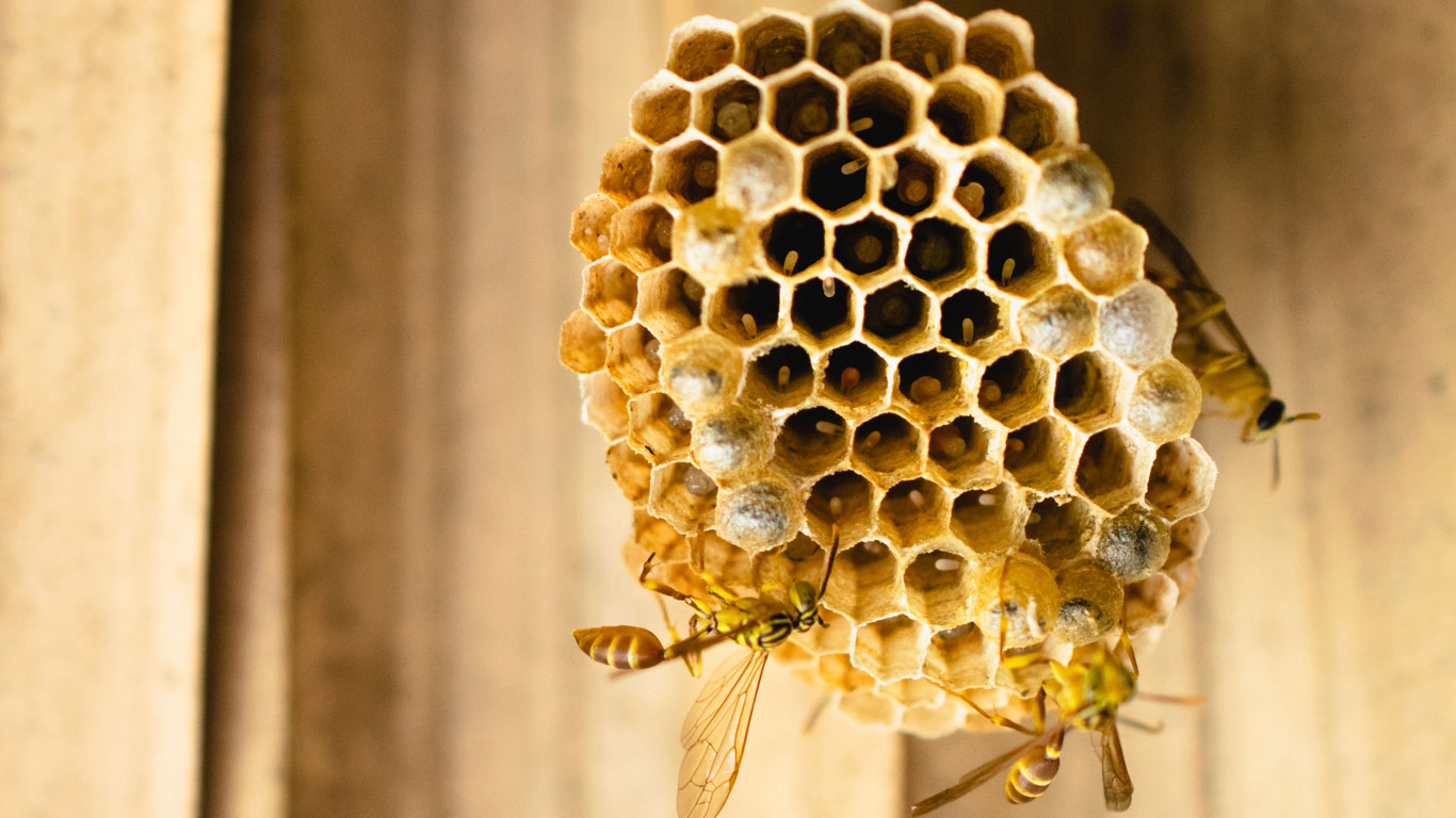 Produzieren Wespen Honig?