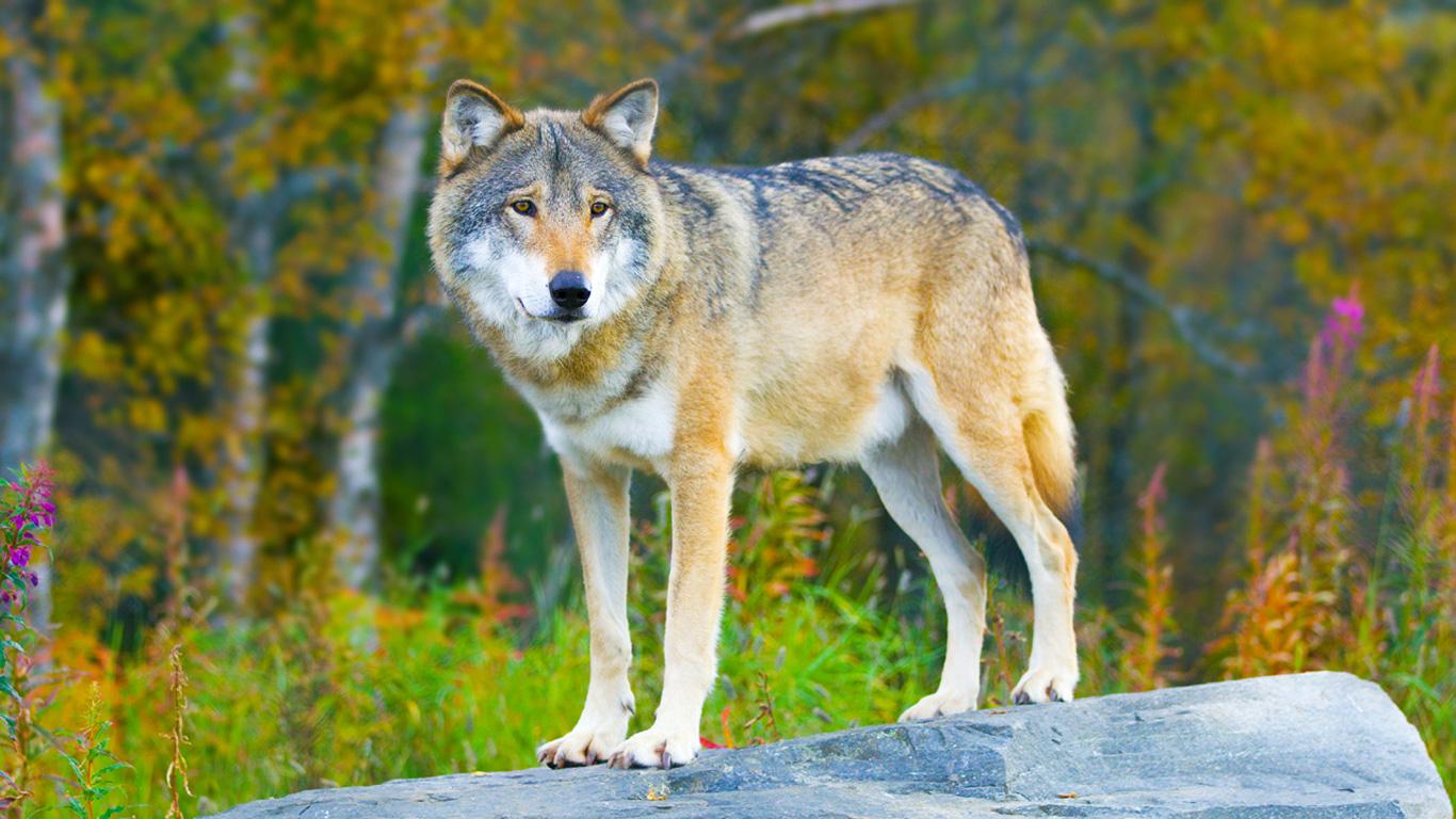 Erfahren Sie mehr über Wölfe in der Bildergalerie!