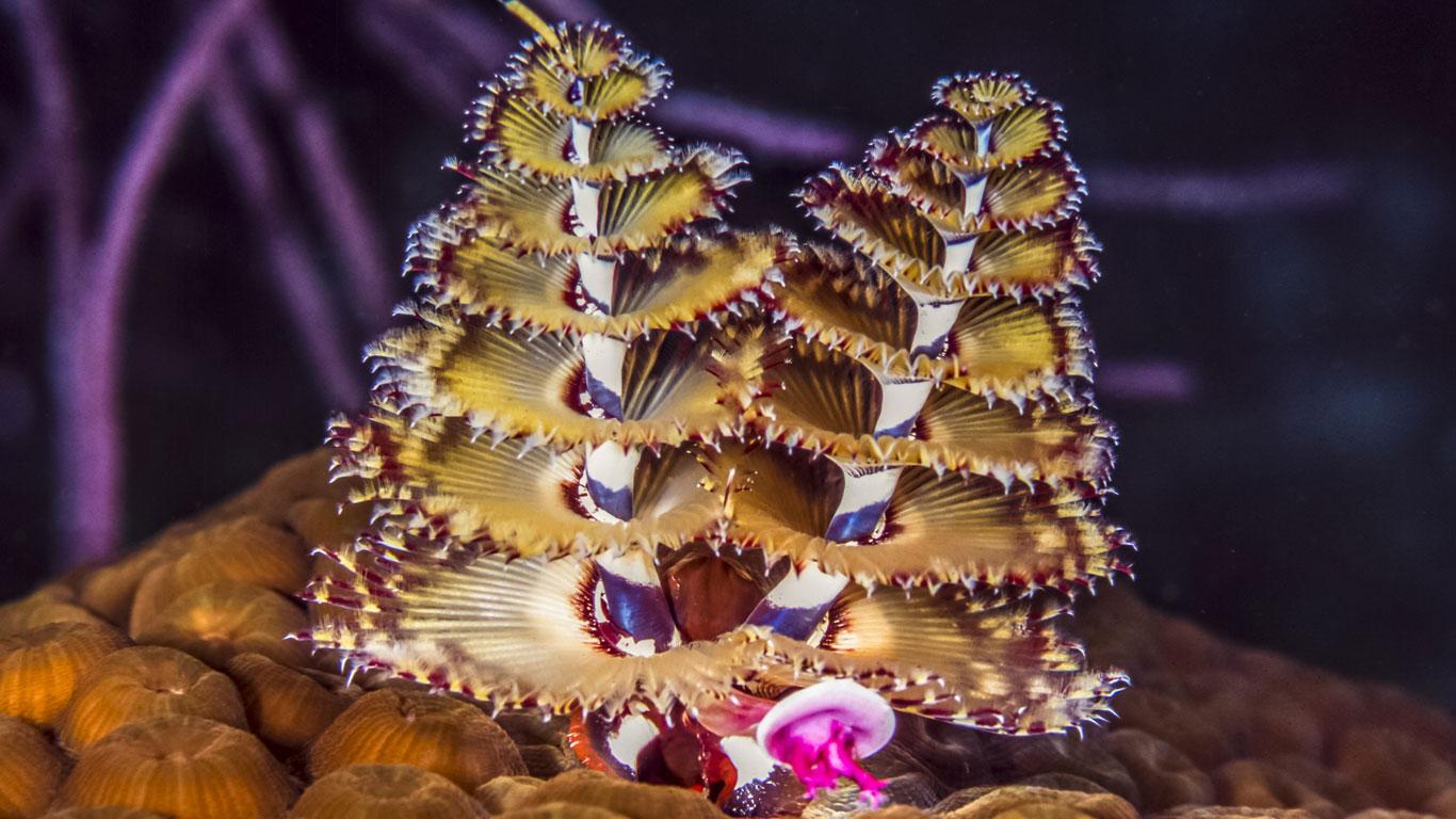 Der Weihnachtsbaumwurm Spirobranchus giganteus