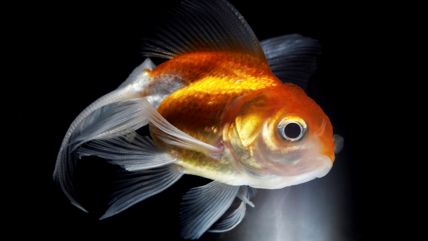 Die Erinnerung eines Goldfischs reicht nur für drei Sekunden