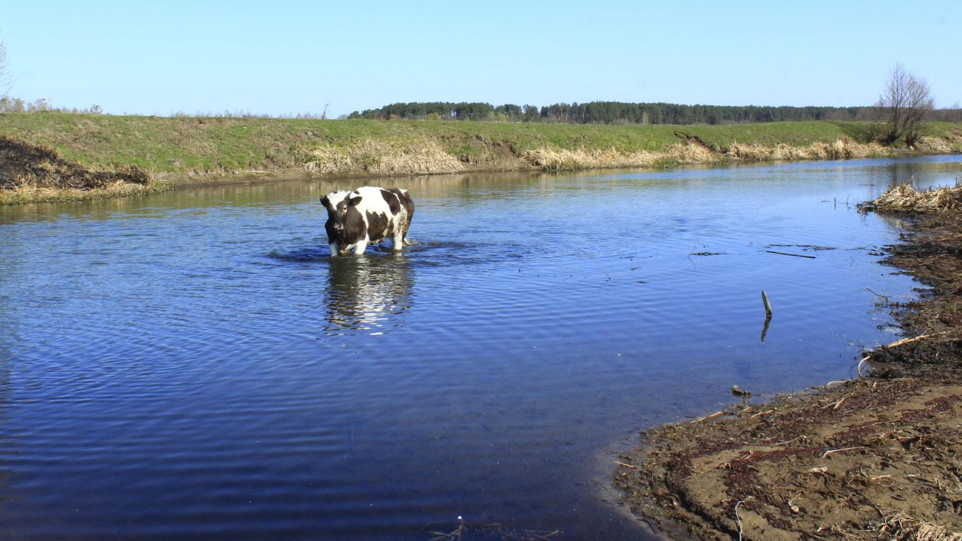 Kühe haben keinen Schließmuskel und laufen im Wasser deshalb voll