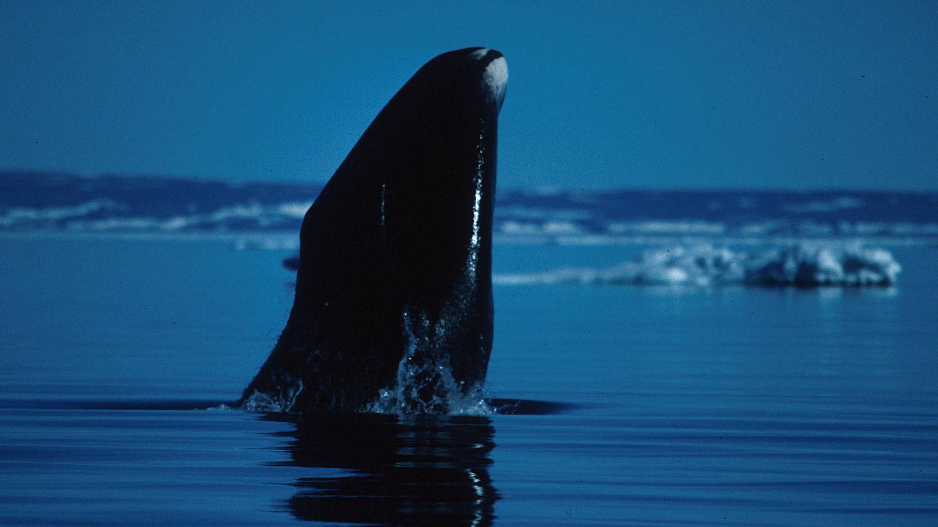 Grönlandwal: mehr als 200 Jahre