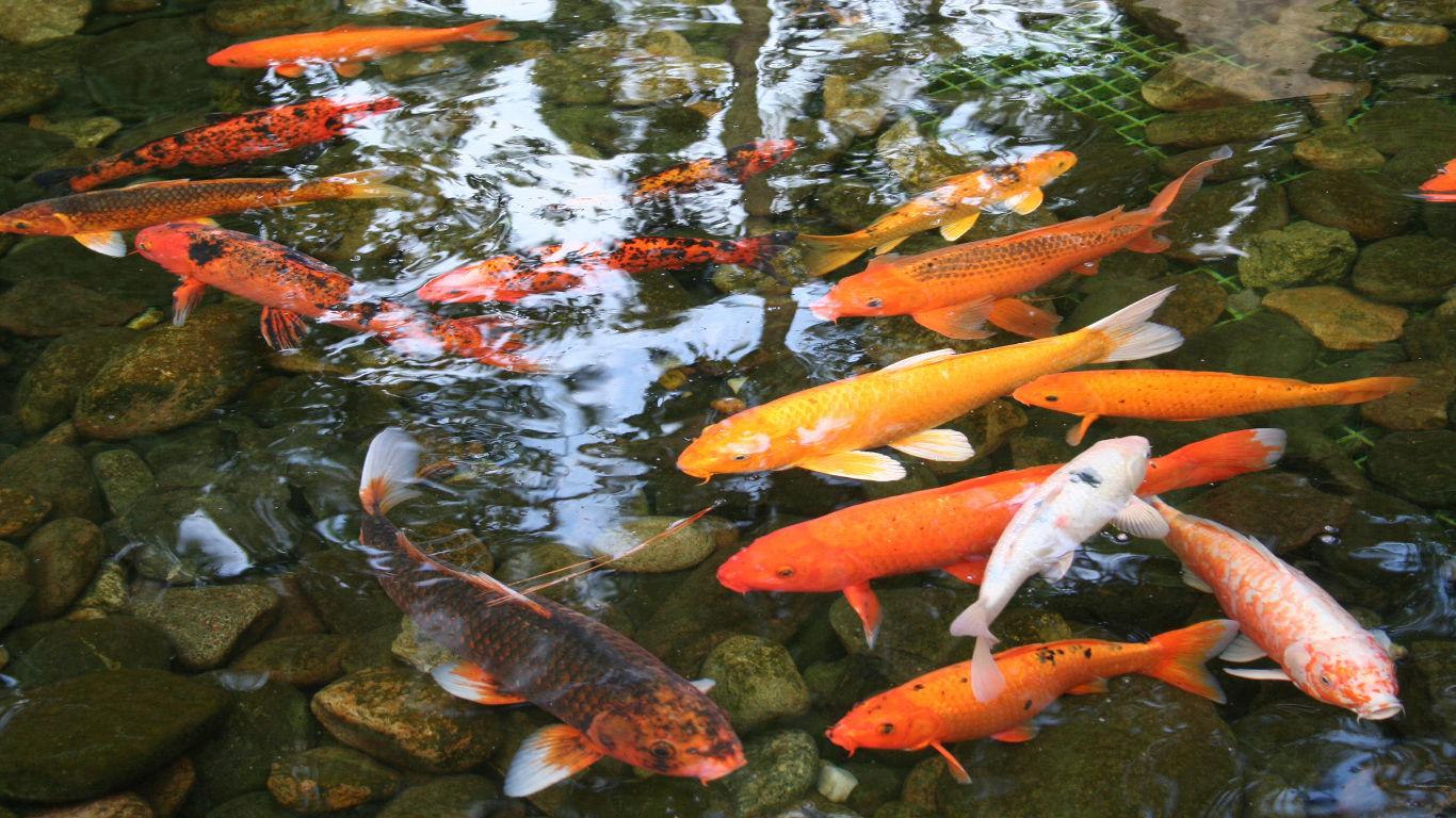 Koi-Fisch Hanako: 226 Jahre