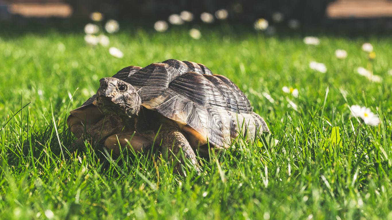 Die europäische Landschildkröte