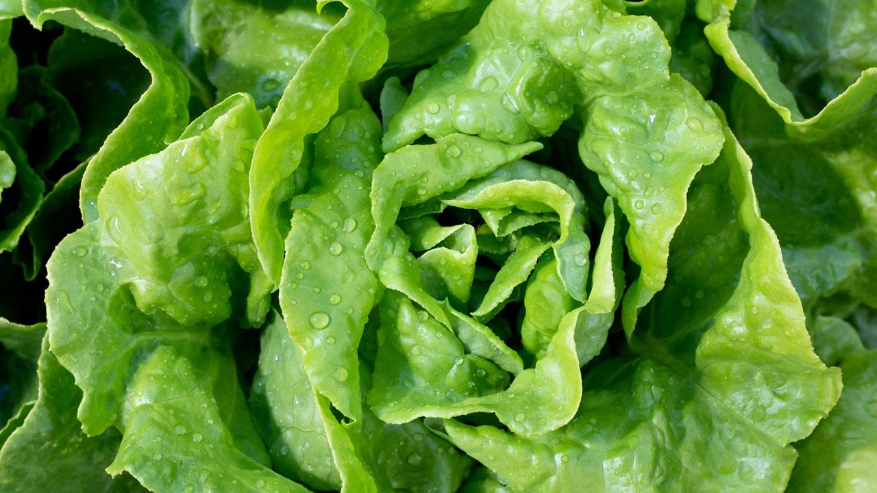 Wirkt Kopfsalat wie ein Schmerzmittel?