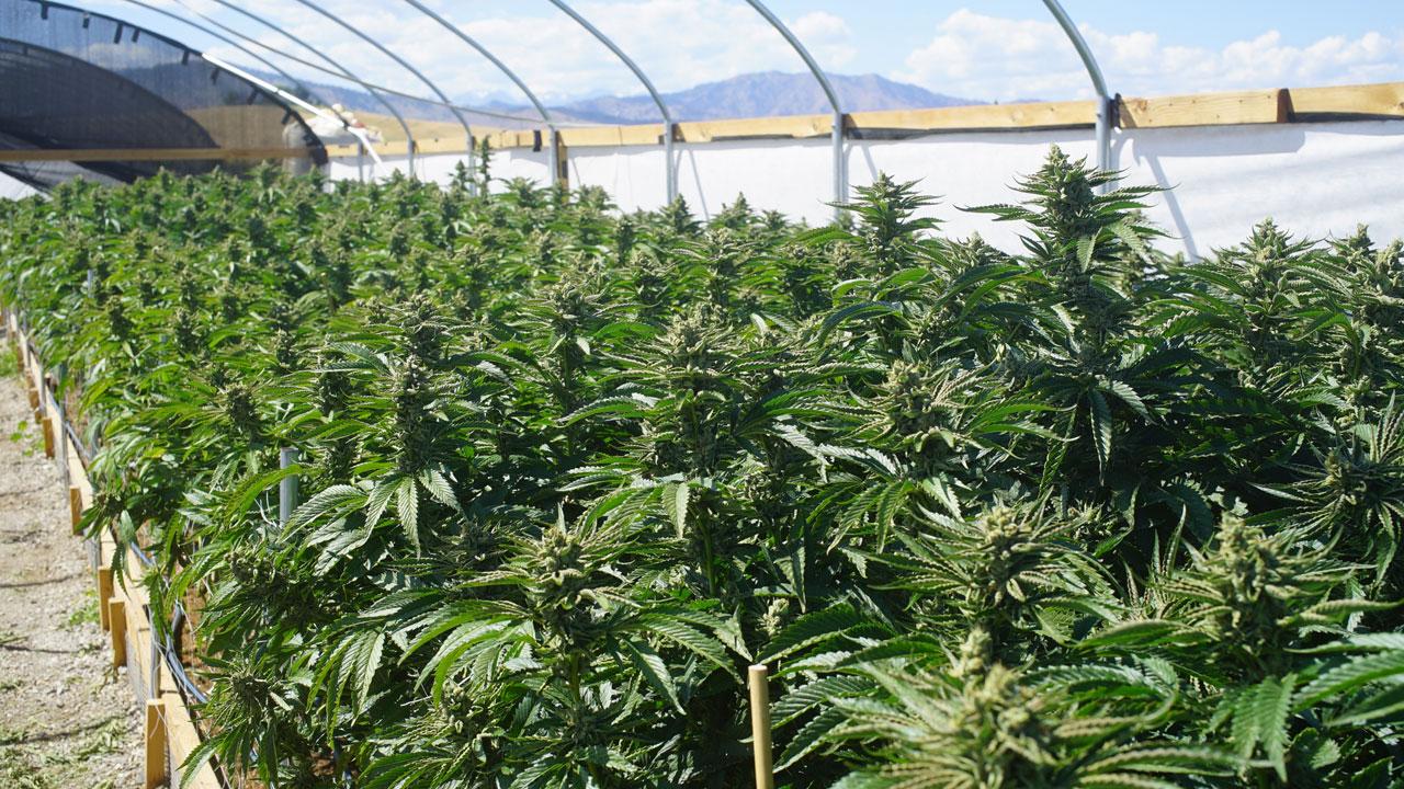 Wie funktioniert ein Cannabis-Labor?