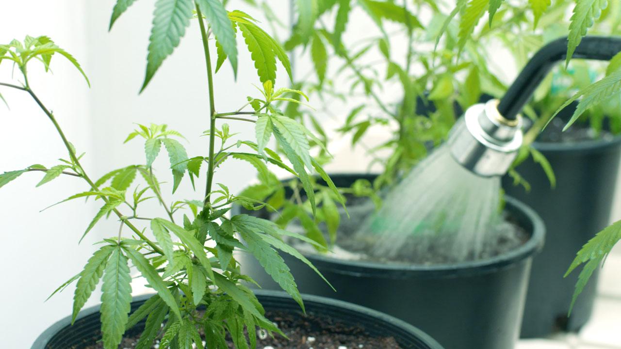 Anbau von Marihuana