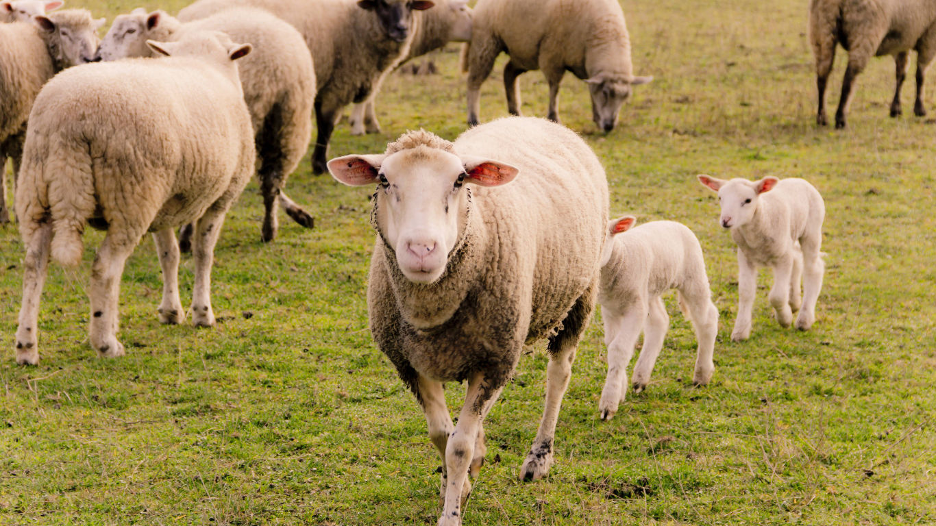 Wieso kaut man Schaf-Schweiß?