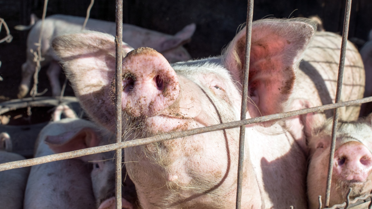 Schweinegrippe, 2009 bis 2010