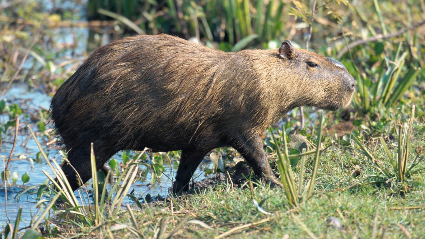Ein Riesenmeerschwein im Regenwald?