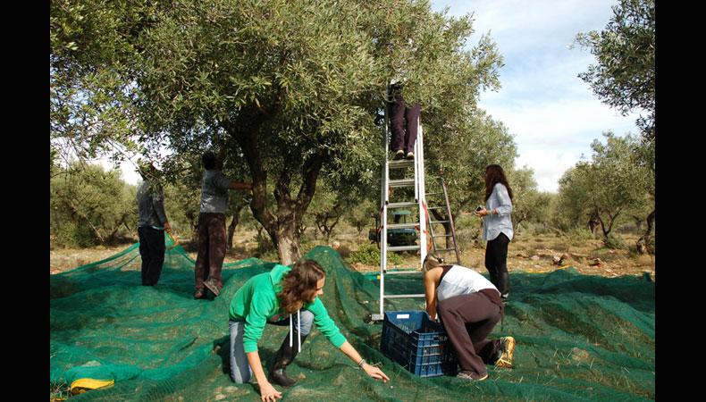 Für die Nachsaison: Olivenernte auf  Peleponnes