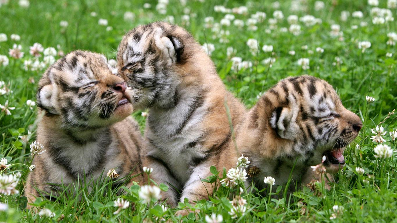 Ein Zoo als Partnervermittler für Tiger?