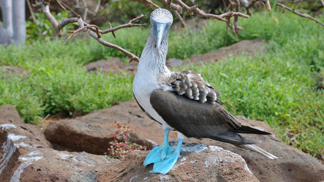 Balzende Blaufußtölpel im Naturparadies Galapagos
