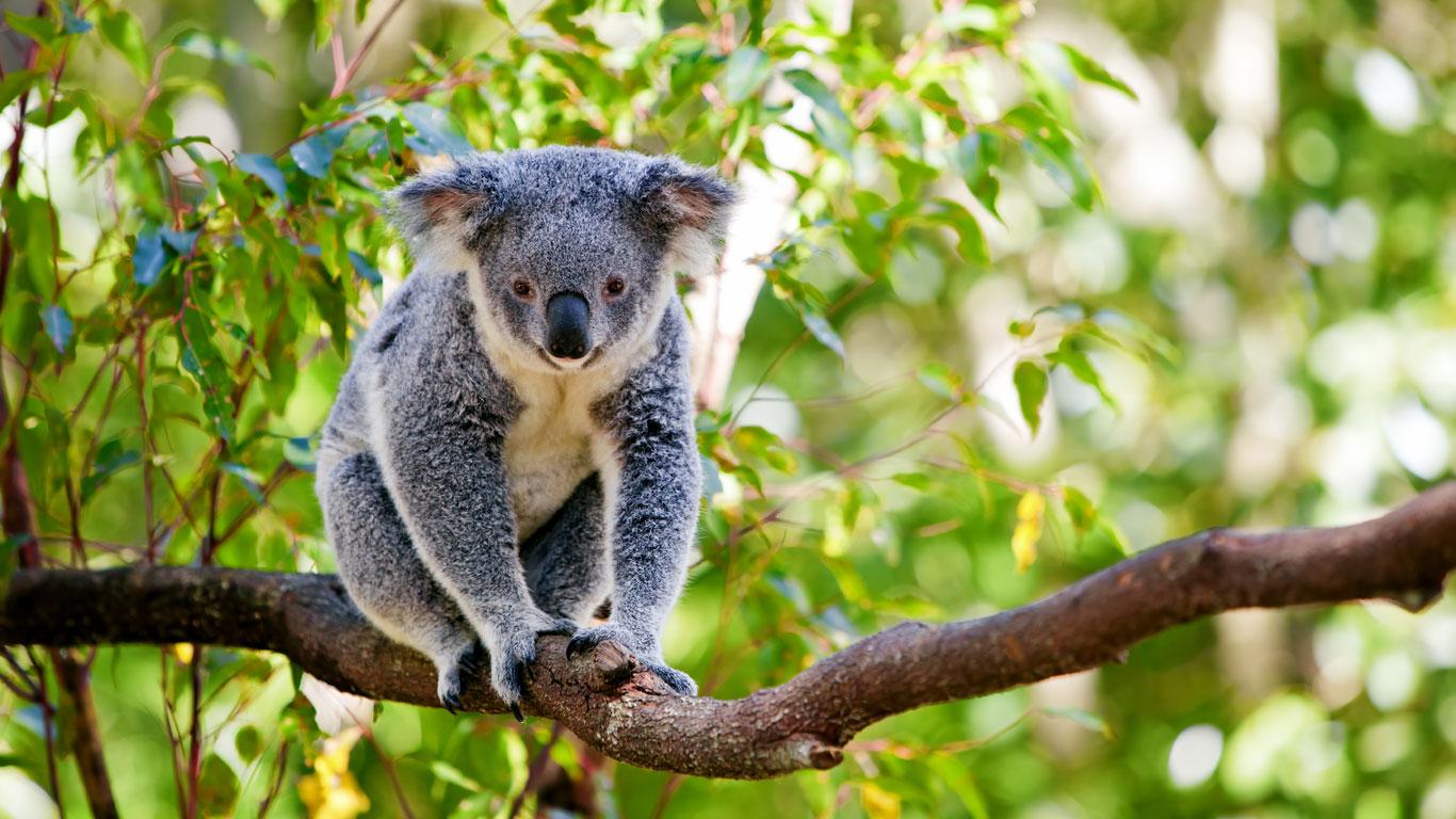 Koalas streicheln in Australien