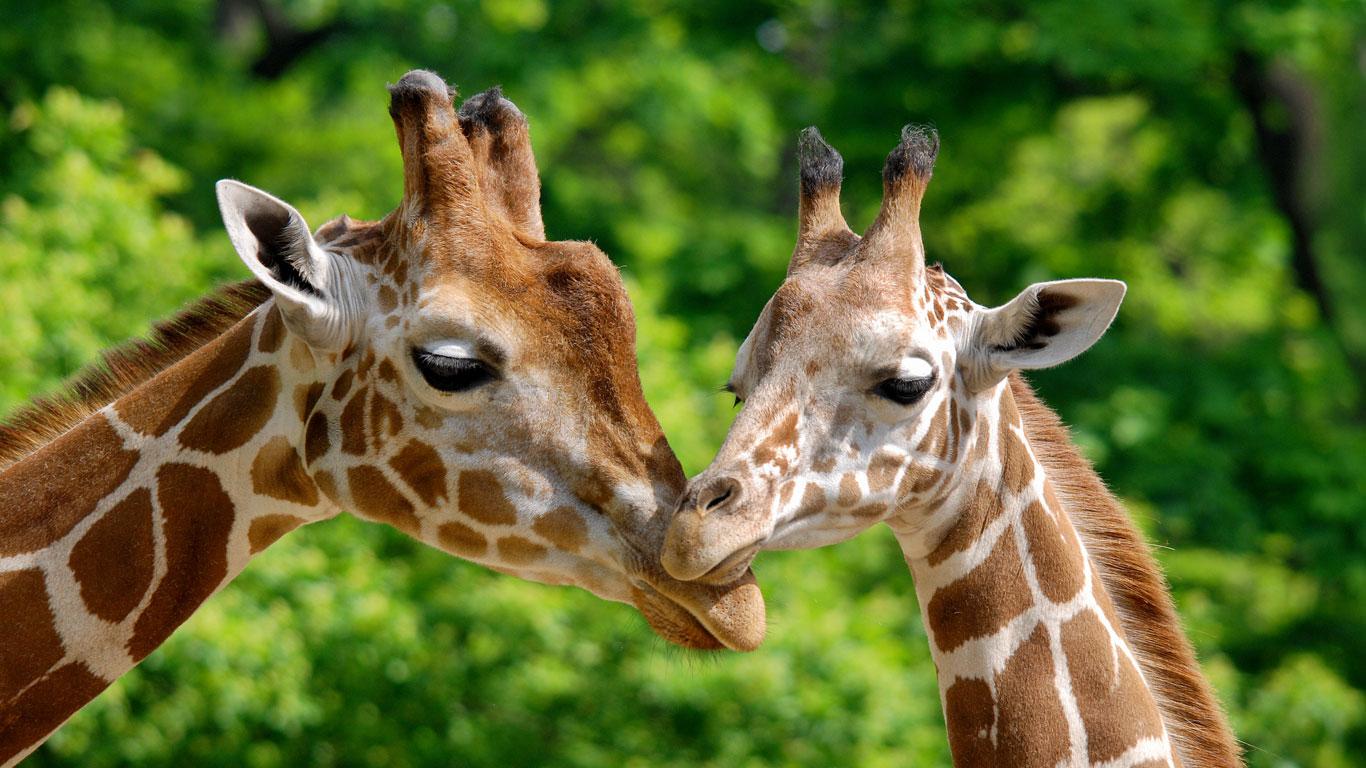 Giraffen füttern in Kenia