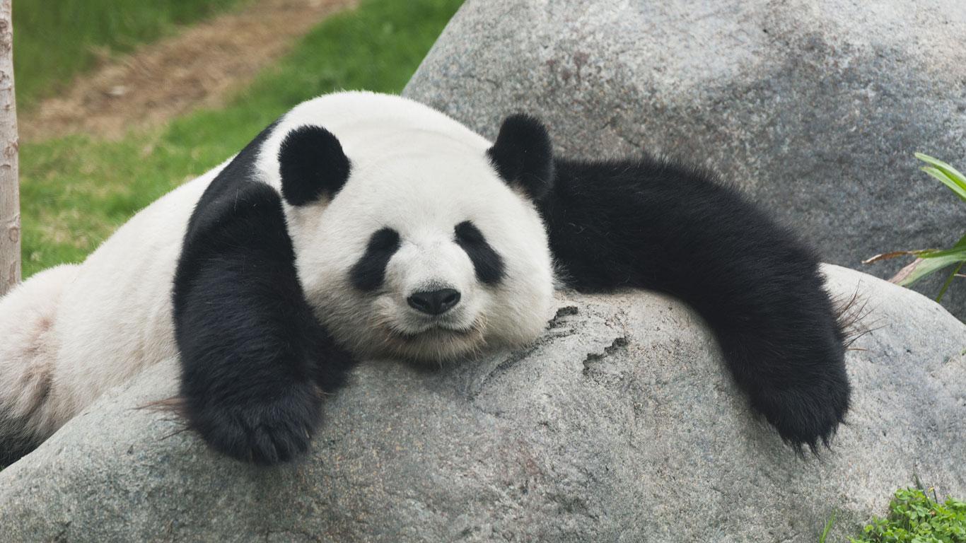 Pandas besuchen in China