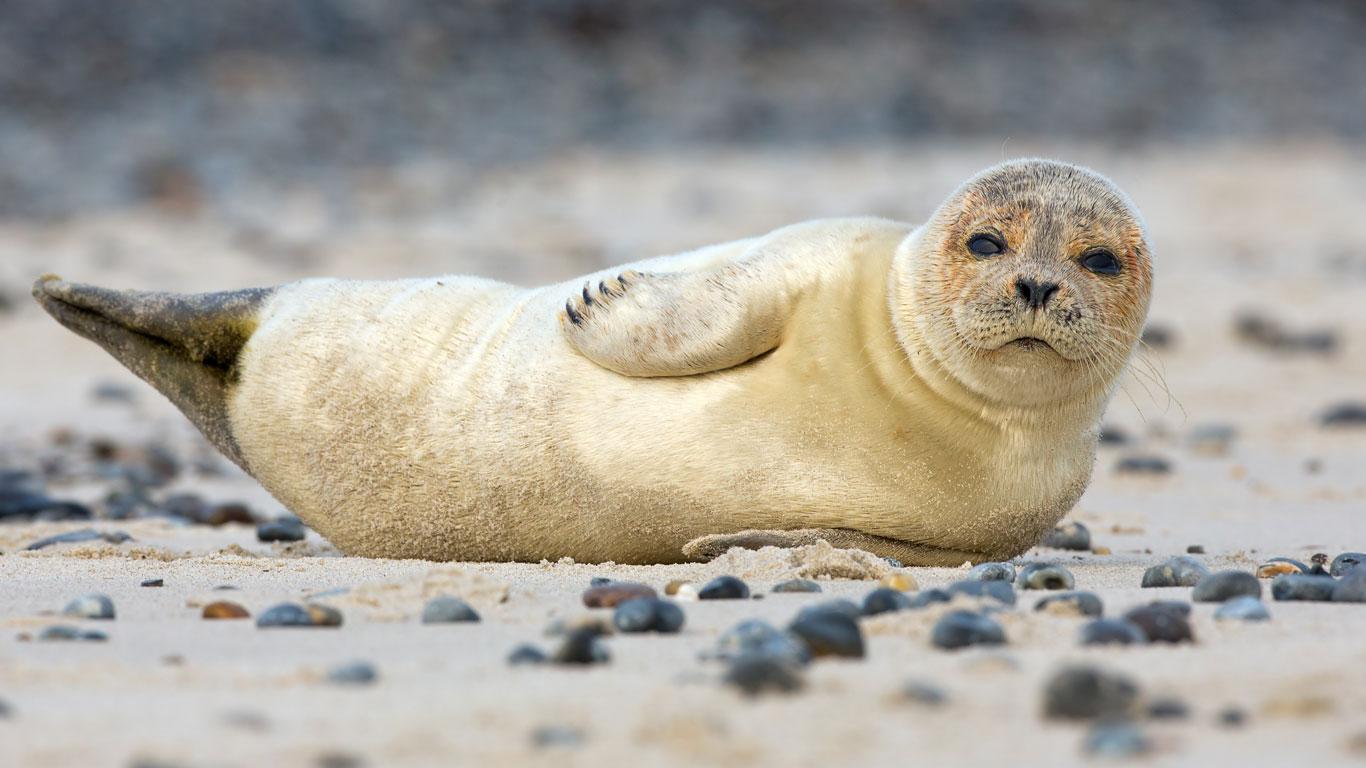 Robbenbabys beobachten in den USA