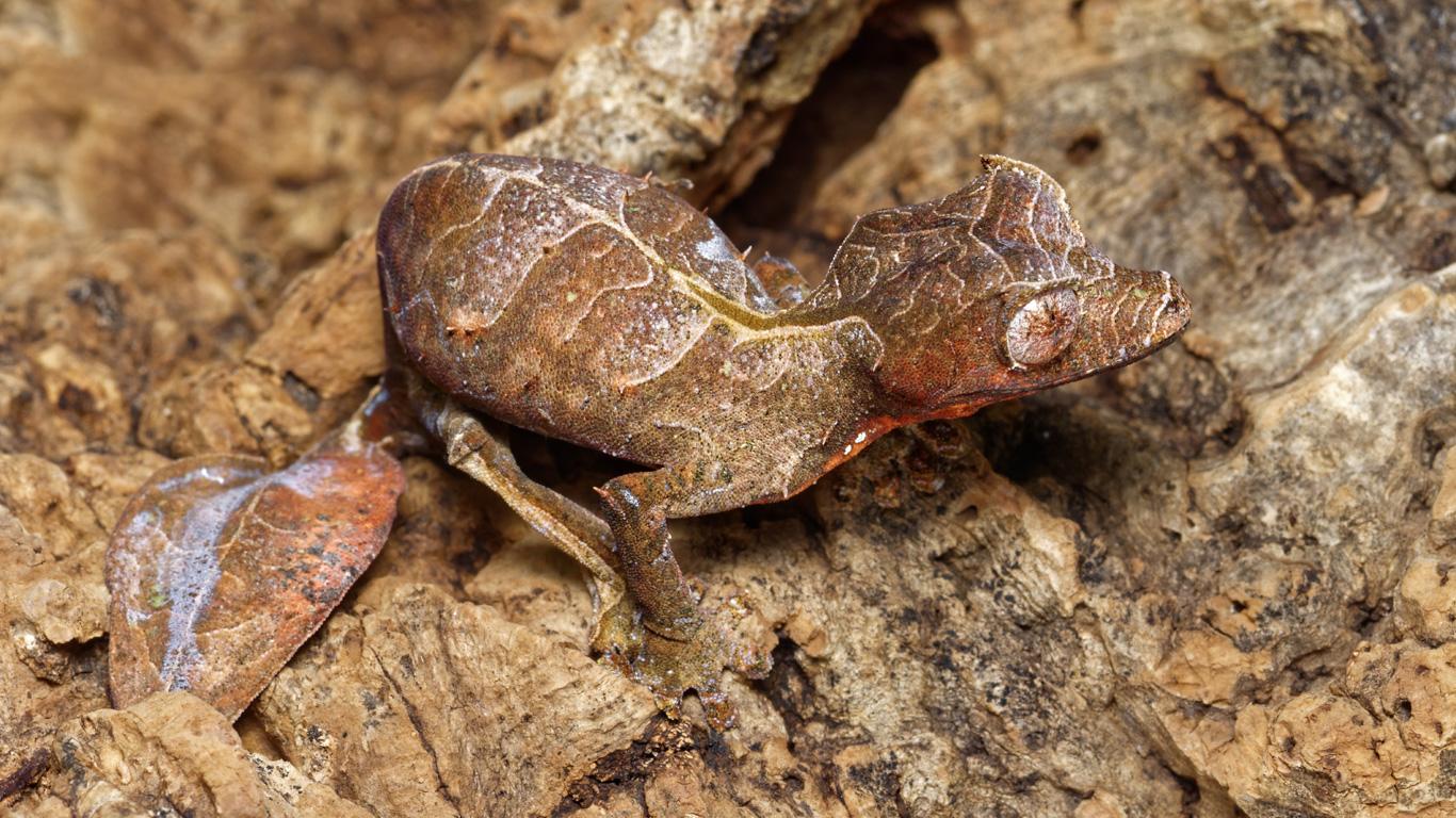 Gespenst-Plattschwanzgecko – für Entdecker