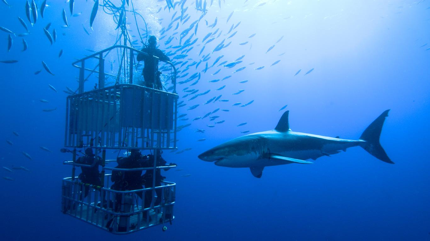Weißer Hai – für Adrenalinjunkies