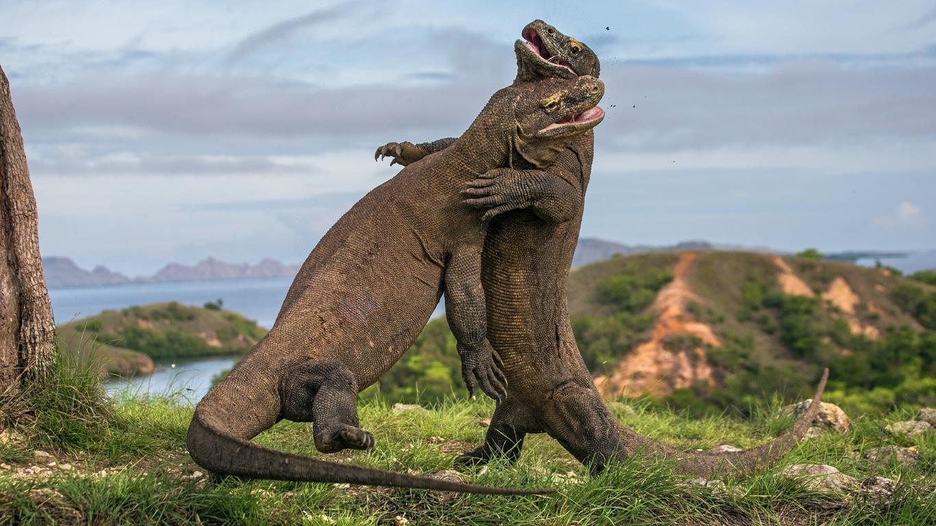 Komodowaran – für Dinosaurier-Fans