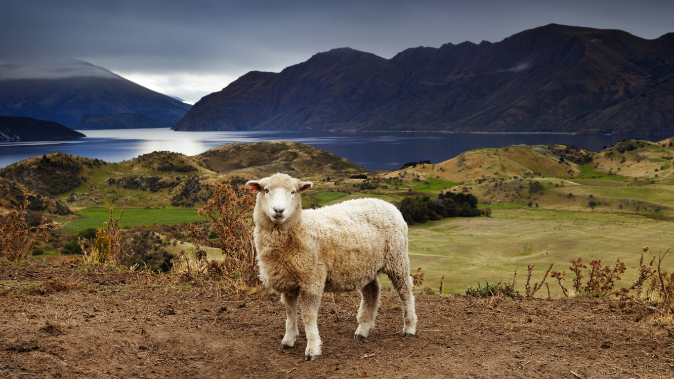 Neuseeland: Mindestens sechs Schafe pro Einwohner