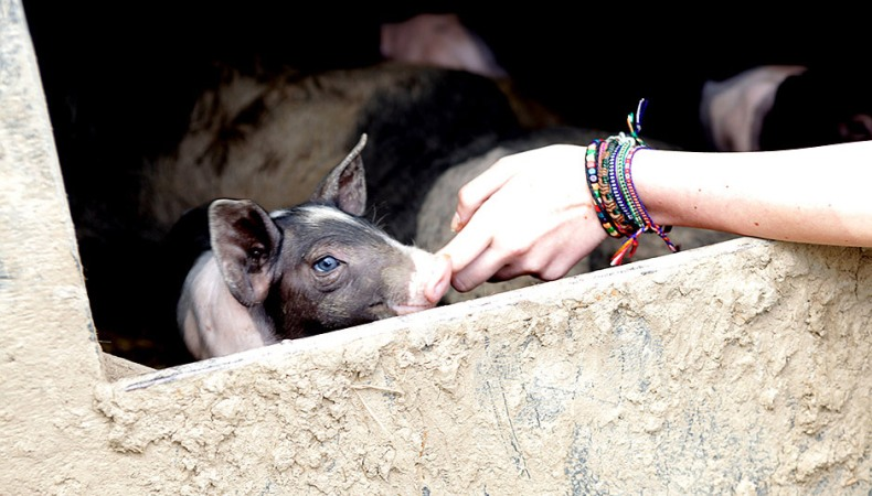 Auch Schweine brauchen Freunde